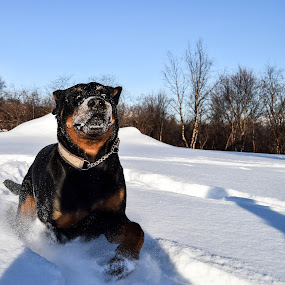 Snowrace by Ricky Friskilæ - Animals - Dogs Running ( playing, winter, dog portrait, doberman, rottweiler )