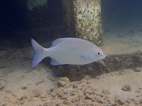 Photo: Kyphosus cinerascens (Snubnose Chub), Miniloc Island Resort Reef, Palawan, Philippines.