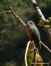 Photo: Calliope Hummingbird, hills above San Blas