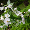 Malus sylvestris - Mill