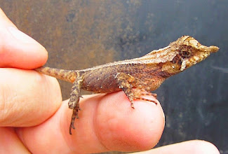 Photo: Rough-horn Lizard (Ceratophora aspera) Raluang Katussa