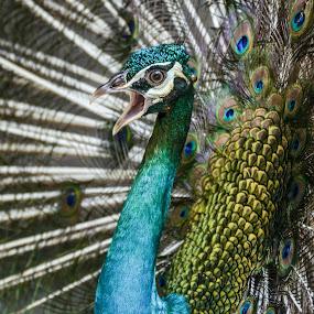 Peacock by Kelvin OY - Animals Birds ( peacock, bird photography,  )