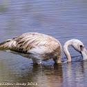 Greater Flamingo; Flamenco