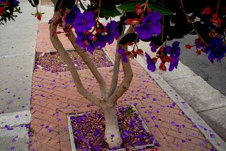 Photo: Small tree with purple flowers in deadfall Santa Barbara, California, June 20, 2012.