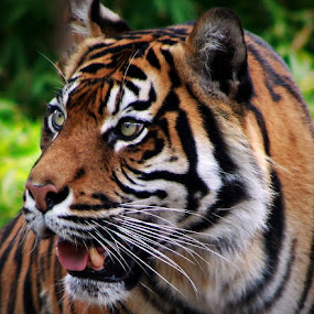 Sumatran Tiger by Deb Thomas - Animals Lions, Tigers & Big Cats ( big cat, tiger,  )