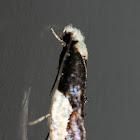 White-headed Monopis