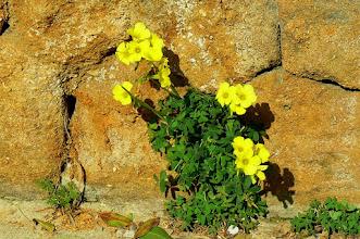 Photo: Mauerbluemchen Sizilien im Maerz www.ferienwohnung-sizilien-weinheim.net