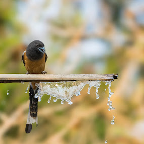 Garland of Water. by Santanu Majumder - Animals Birds ( treepie, nature, birds, water, wildlife,  )