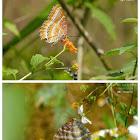 Cethosia biblis 紅鋸蛺蝶