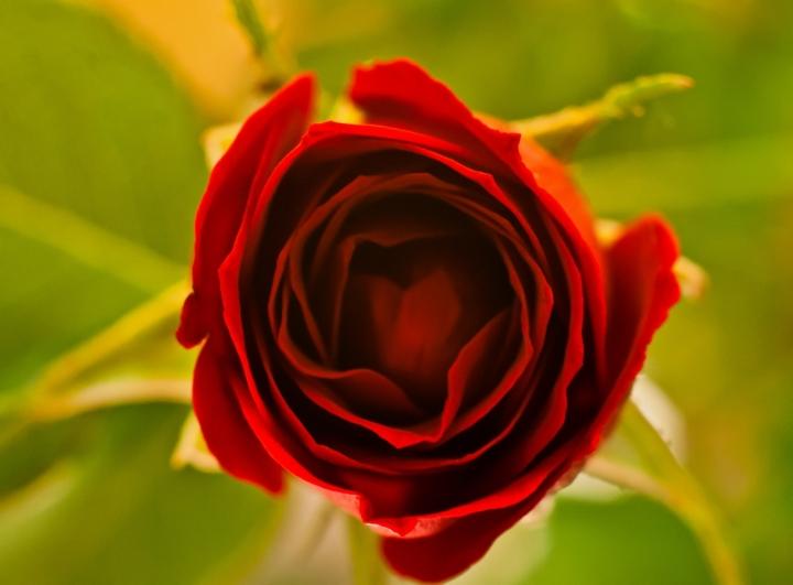 Rosa di Dotvalenti