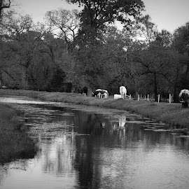 Cows by the creek by Brenda Shoemake - Black & White Landscapes