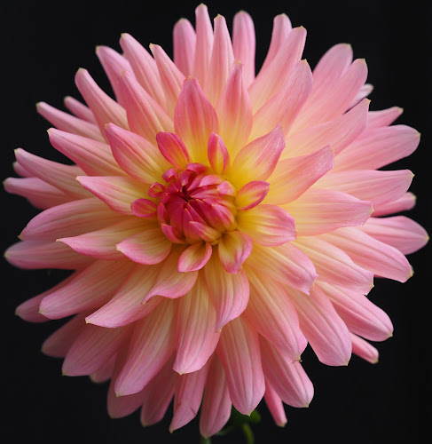 Pink Sway by Gillian James - Flowers Single Flower ( petals, pink, close up, dahlia, flower )