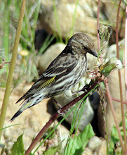 Photo: Pine siskin in the Big Hole Valley