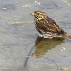 Beldings Savannah Sparrow