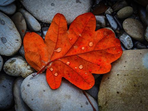 Autumn colour by Elaine Delworth - Nature Up Close Leaves & Grasses ( colour, leaves, rocks, autumn leaves, autumn,  )