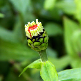 Bud by Souvik Nandi - Novices Only Flowers & Plants ( nature, green, bud, flower )