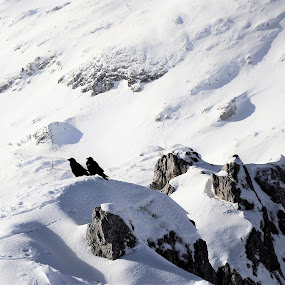 mountains birds by Renata Peterman - Animals Birds ( winter, mountain, snow, birds, sun )