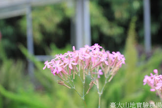 Photo: 拍攝地點: 梅峰-溫帶花卉區 拍攝植物: 捕蟲瞿麥 拍攝日期: 2015_05_29_FY
