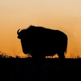 Bison Silhouette by Jim Talbert - Animals Other Mammals ( sky, canon 5d mkiv, nature, buffalo, sunset, kansas, beautiful kansas, kansas magazine, canon )