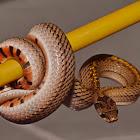 Khukri snake