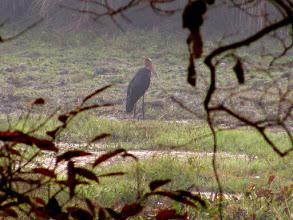 Photo: An Adjutant Stork