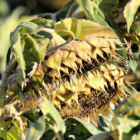Nearing harvest by Stacy Swenson - Nature Up Close Other plants