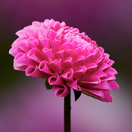 Dahlia 9809~ by Raphael RaCcoon - Flowers Single Flower