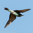Bee-eater; Abejaruco