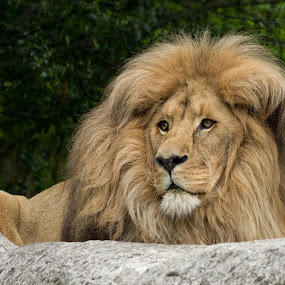 Lion King by Jürgen Mayer - Animals Lions, Tigers & Big Cats ( lion, cat of prey, cat, katze, löwe, raubkatze, raubtier, tier, animal )