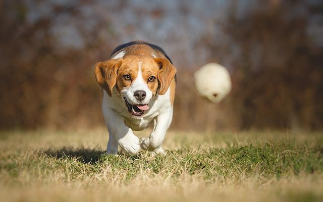 Beagle Themes & New Tab