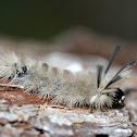 Banded Tussock Moth (caterpillar)