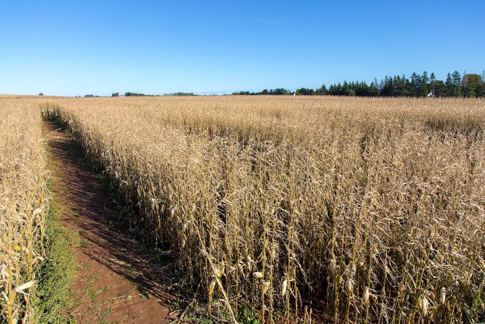 Corn Maze, labirynt, kukurydz, Wyspa Księcia Edwarda
