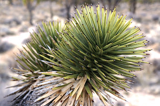 Photo: The Joshua tree (Yucca brevifolia) is a species of yucca.
