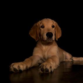 Golden Retriever by Nugroho Kristanto - Animals - Dogs Portraits ( dog, golden, retrever )