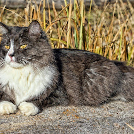 Lazy Boy by Twin Wranglers Baker - Animals - Cats Portraits (  )