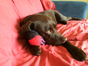 Photo: Rupert Labrador with his favourite sock toy snuggled up for the evening...