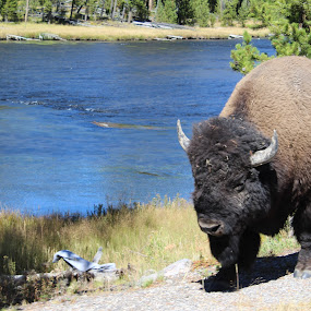 The Boss by Terese Hale - Animals Other Mammals ( buffalo, yellowstone, bison, bull, river )