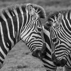 Together by Barry Smith - Animals Other Mammals ( animals, patterns, monochrome, zoo, captive, zebra,  )
