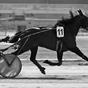 Eleven by Attila Kropf - Animals Horses ( speed, horse, race, black )