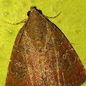 The eight-spot moth
