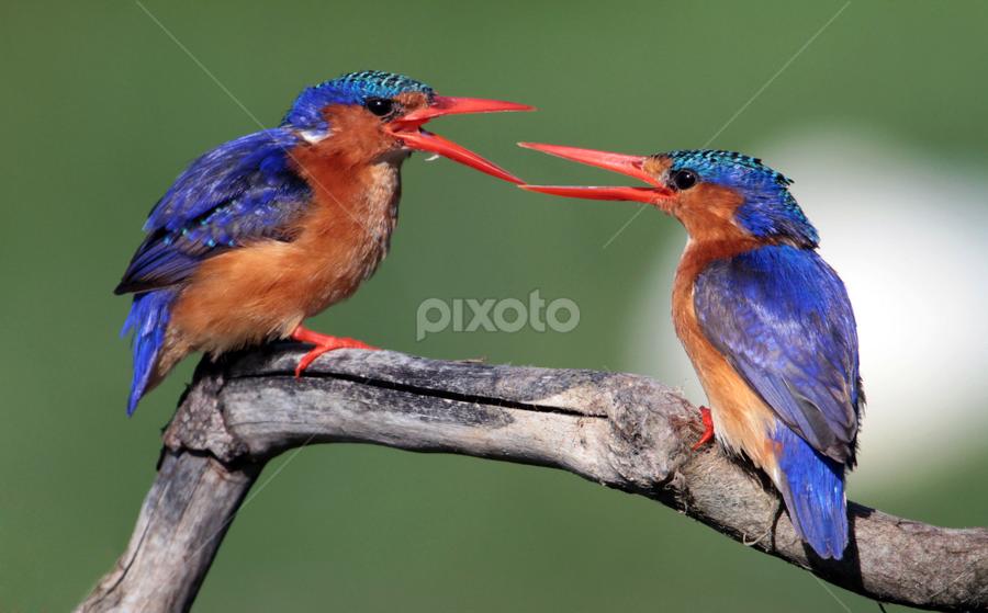 malachite squabbles by Ajay Bhoopchand - Animals Birds ( malachite kingfisher, intaka island, birds on perch, ajay bhoopchand, birds, birds squabbling )