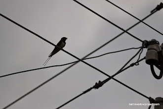 Photo: Barn swallow switchboard (This guy's streamers are 141mm! That's the longest I've measured anywhere in the world so far)