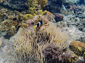 Photo: Amphiprion clarkii (Clarkii Clownfish) and Heteractis crispa (Sebae Anemone), Lusong Island, Coral Garden Reef, Palawan, Philippines.