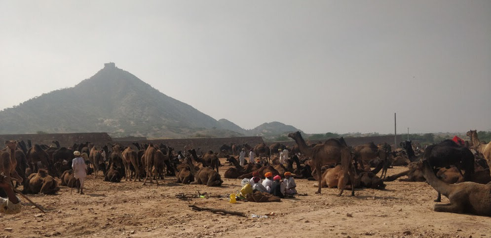 camles+pushkar+animal+fair+rajasthan