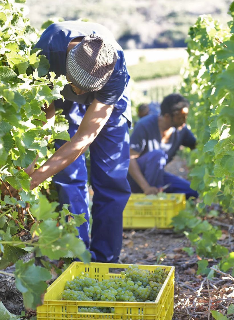 Farmworkers picking grapes.