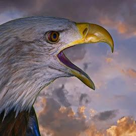 Bald Eagle by Bill Diller - Animals Birds ( american bald eagle, raptor, michigan, nature, eagle, icon, bald eagle, american icon, mature bald eagle, clouds, wildlife )