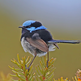 Superb Fairy Wren male by Anthony Goldman - Animals Birds ( tasmania, nature, bird, animalfairy wren, nake, colors, breeding, wildlife, bruny island )