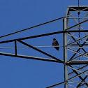 Jackle buzzard.