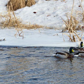 Waiting for spring by Rebecca Roy - Novices Only Wildlife ( mallard, ducks, duck,  )