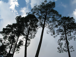 Photo: towering trees